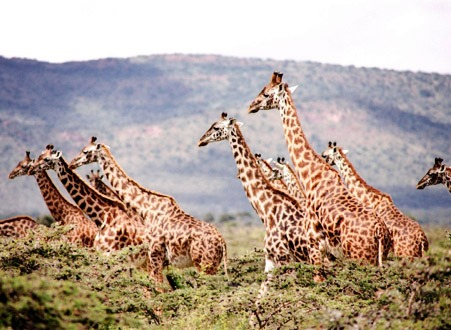 giraffeslight
